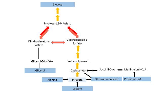 Resultado de imagen de gluconeogénesis