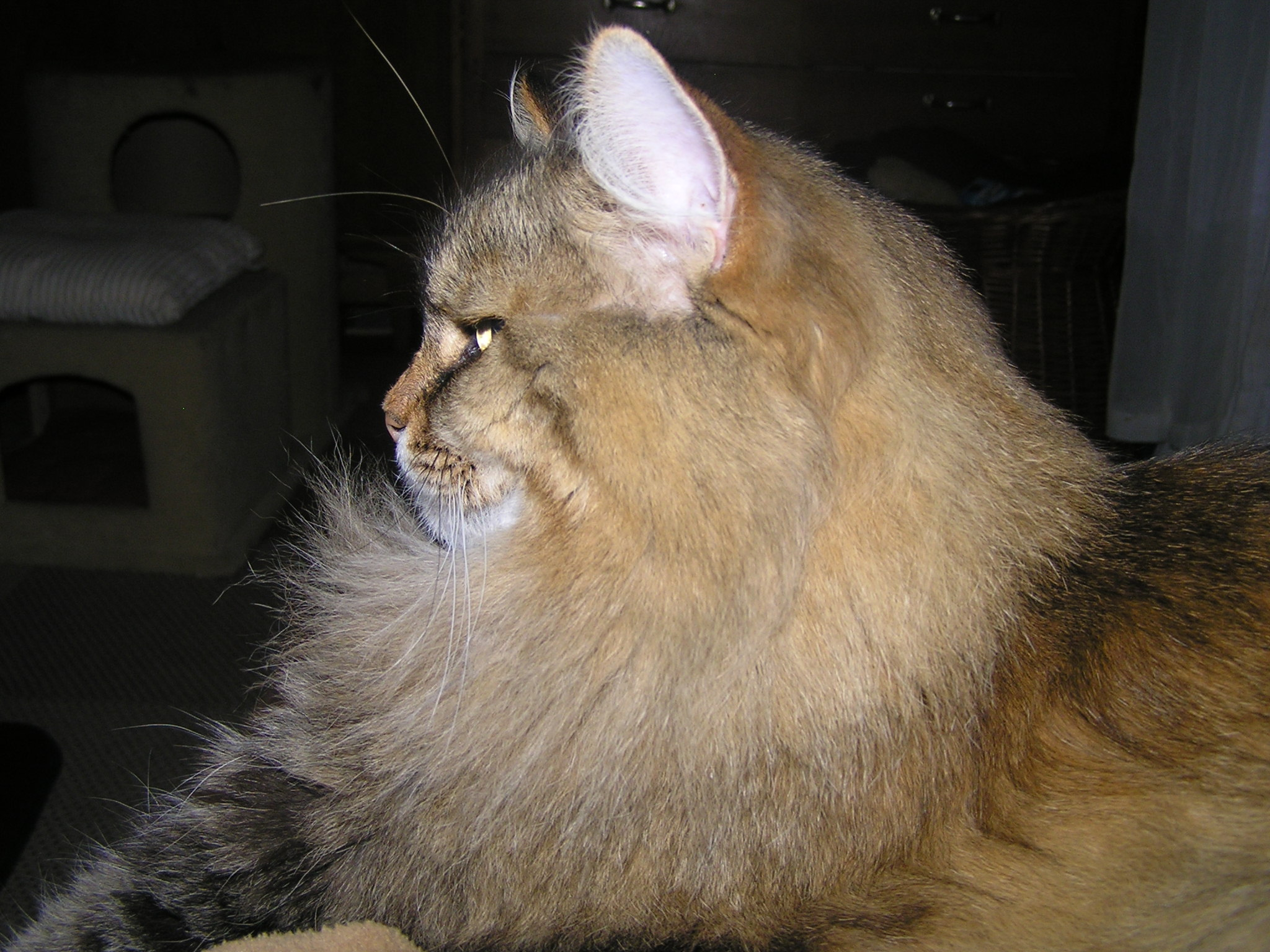 Description Siberian cat face profil.JPG