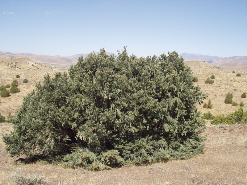 Single-leaf pinyon
