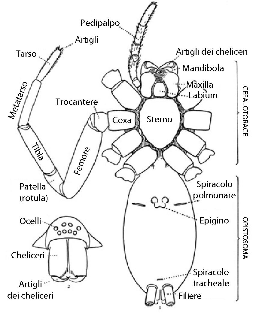 Spider Anatomy Diagram More Information Kopihijau