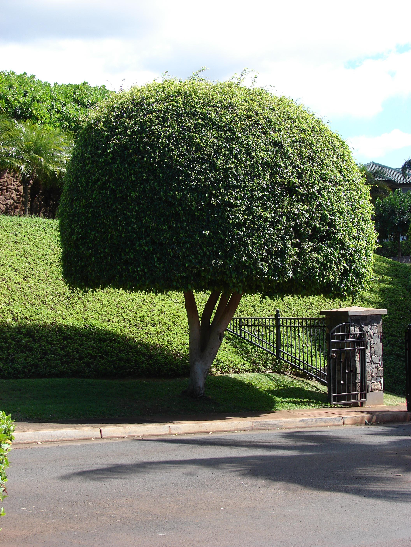 File starr 070221 4783 ficus wikimedia commons - Ficus benjamina precio ...