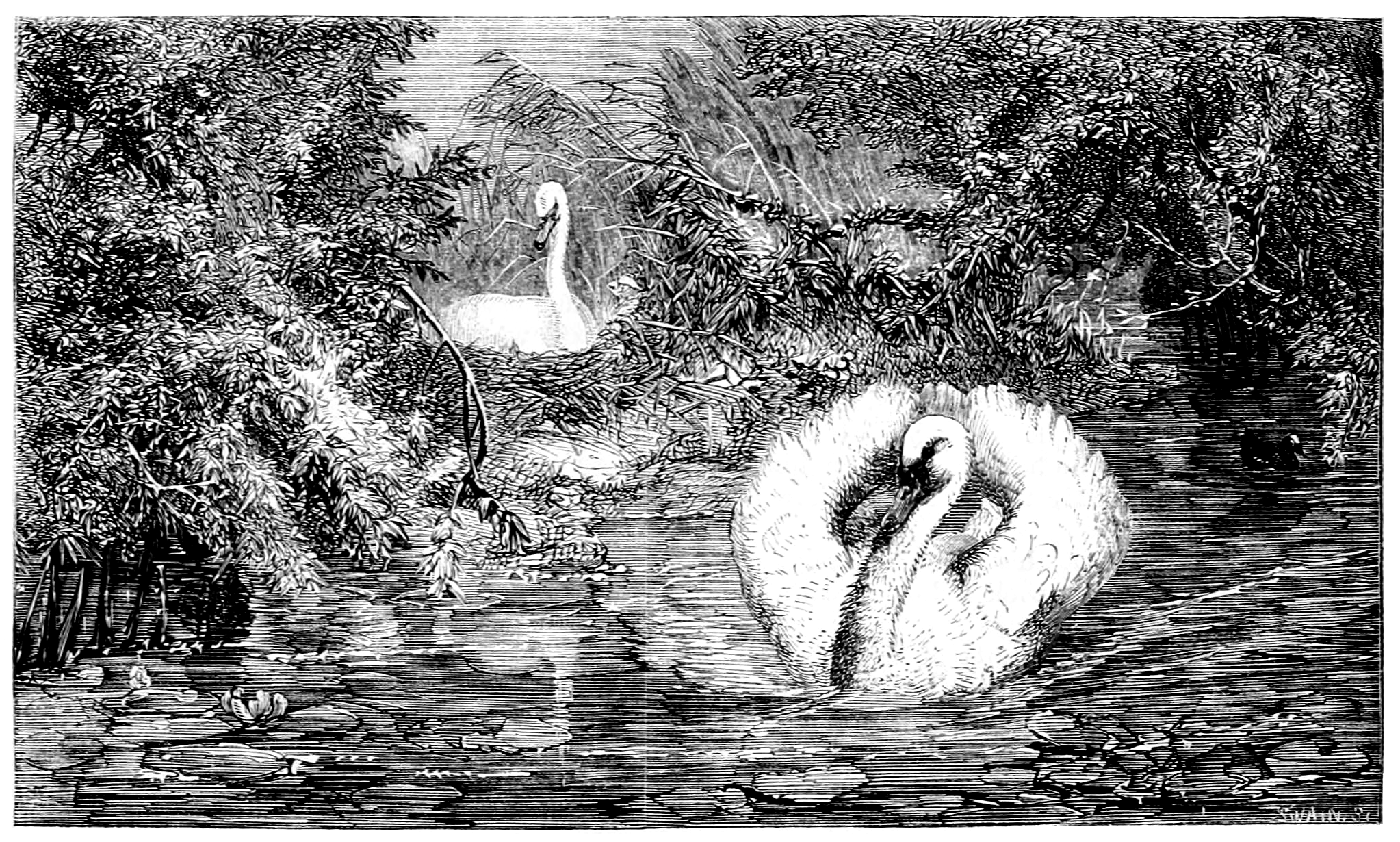 Swan sitting on eggs, with mate standing guard in the water