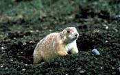 Townsends ground squirrel species of mammal
