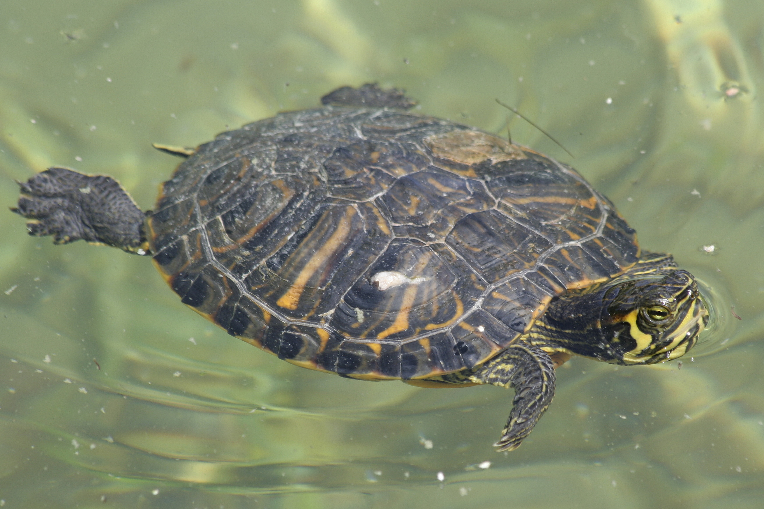 File trachemys scripta swim jpg wikimedia commons for Trachemys scripta