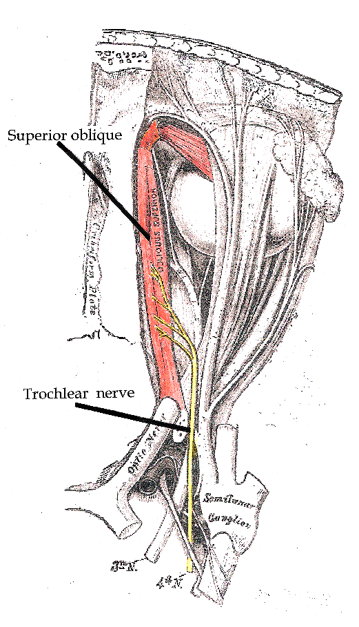 Trochlear nerve.png