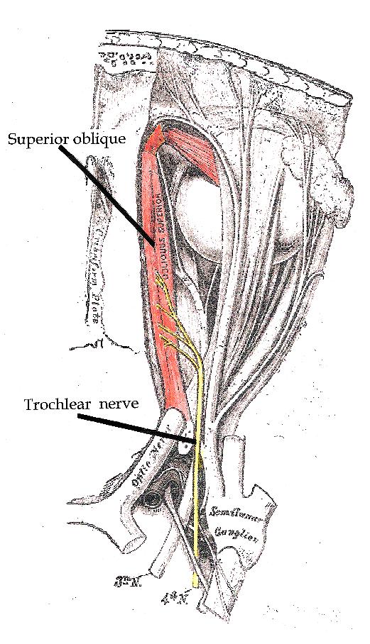 Nervus trochlearis - Wikiwand