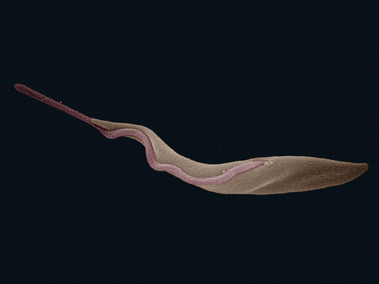 TrypanosomaBrucei ProcyclicTrypomastigote SEM.jpg