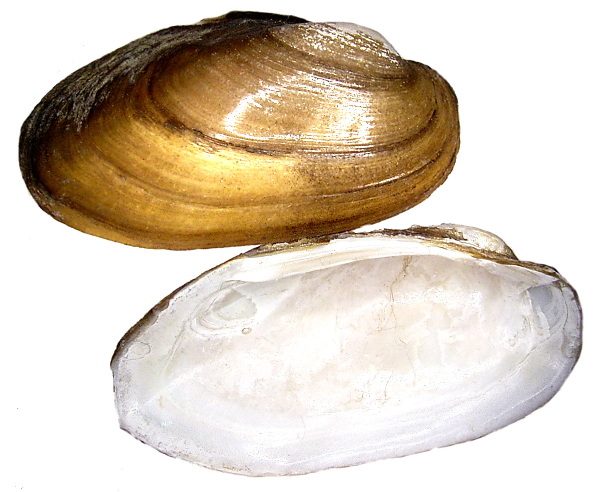 Двустворчатые моллюски беззубка картинки
