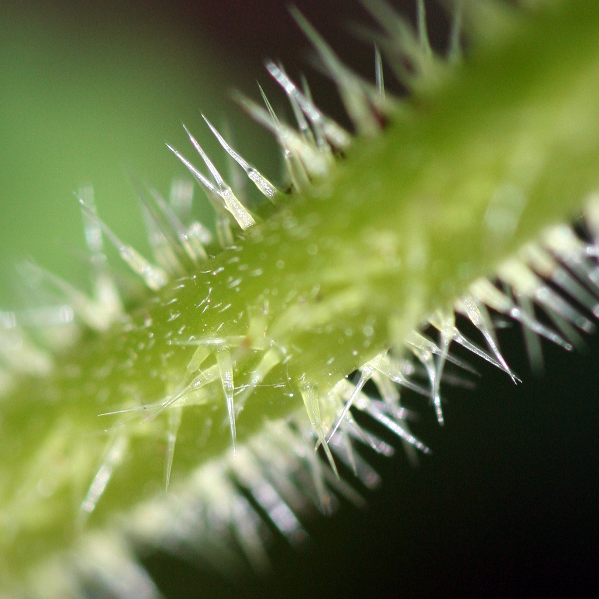 Image Result For Other Plants That Look Like Weed