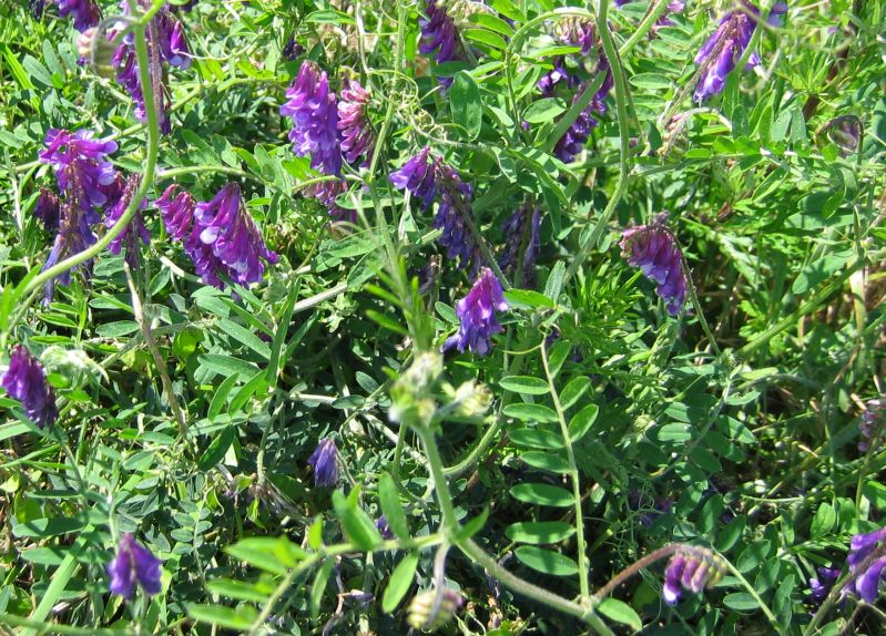 Long when to plant hairy vetch apologise, but