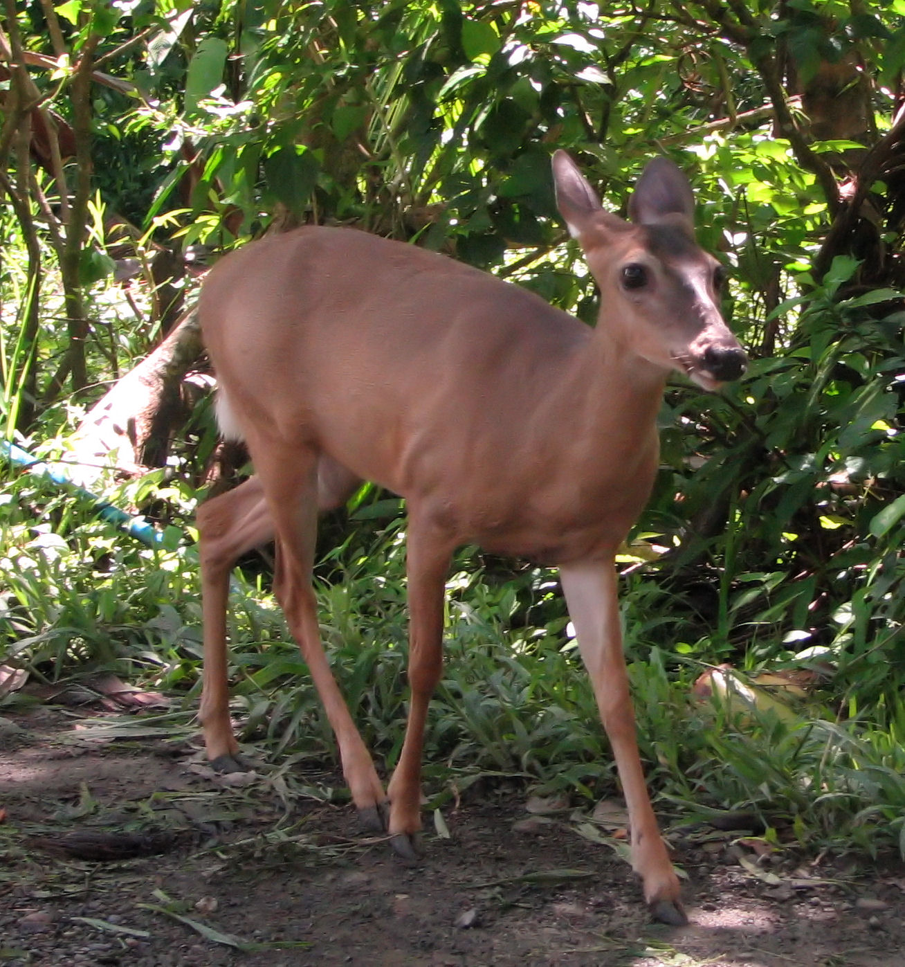File:White-tailed Deer, female, Costa Rica.jpg - Wikimedia
