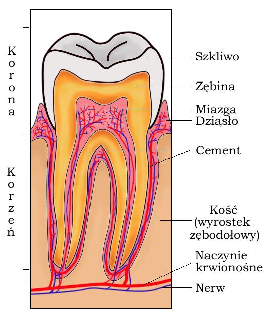4 Types of Teeth