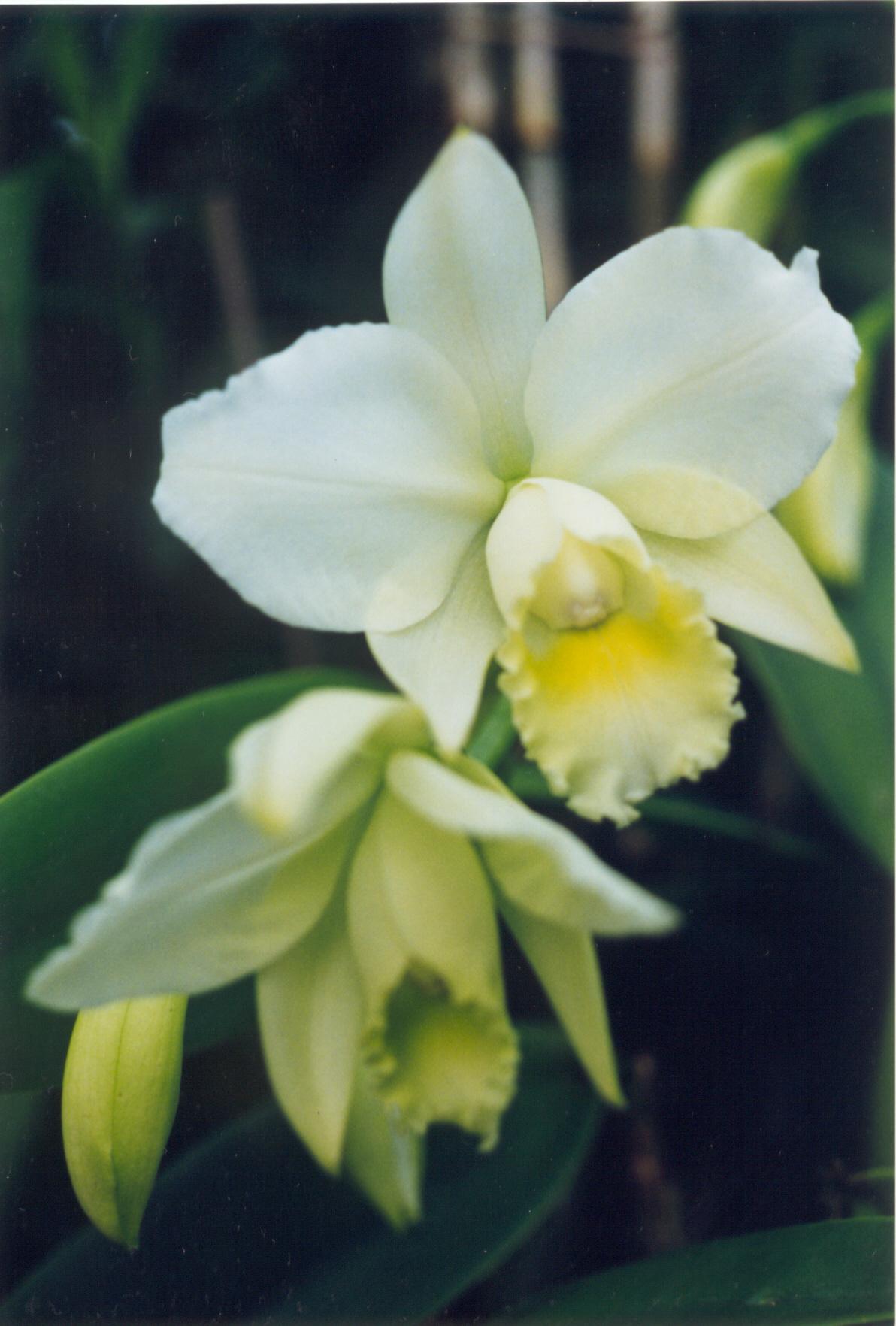 Filea And B Larsen Orchids Cattleya Hawaiian Wedding Song Virgin 674 24