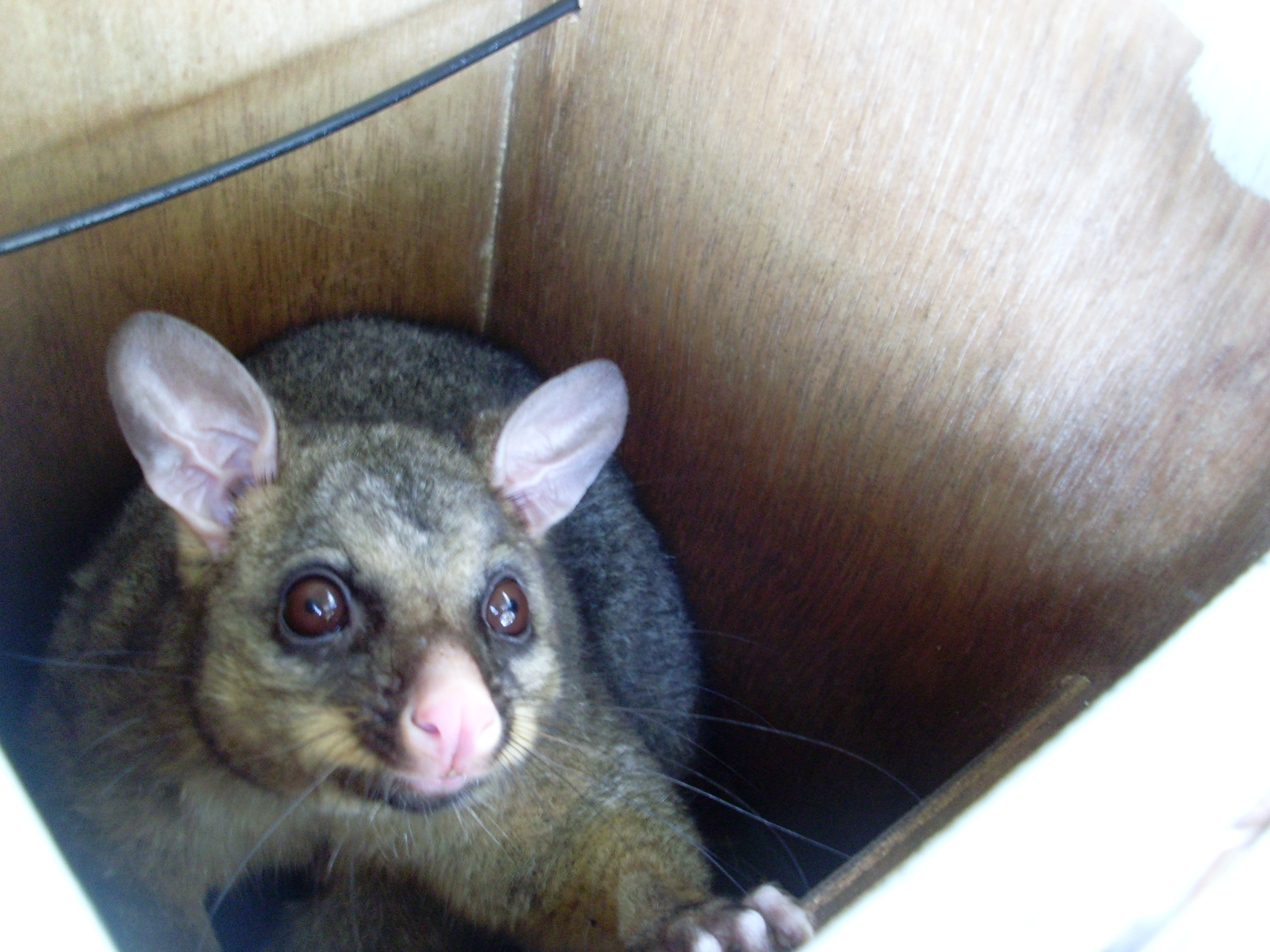 File:A baby possum in a nest box (8069424447).jpg - Wikimedia Commons