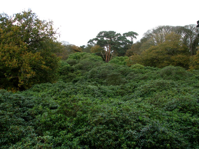 A carpet of rhododendrons - geograph.org.uk - 609513