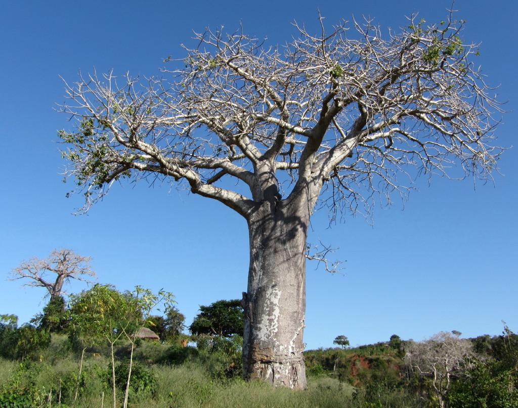 File:Adansonia digitata (5849435230).jpg - Wikimedia Commons