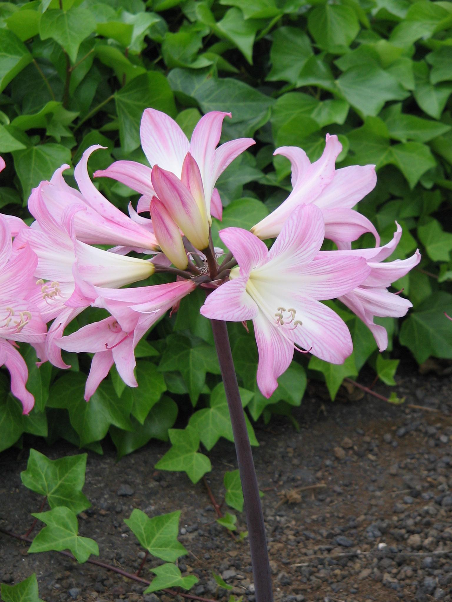 Amaryllis belladonna file amaryllis belladonna sfbg for Amaryllis belladonna