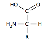 Basic structure of an amino acid. Aminoacid.png