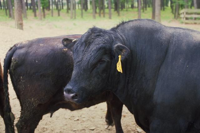 angus cattle information