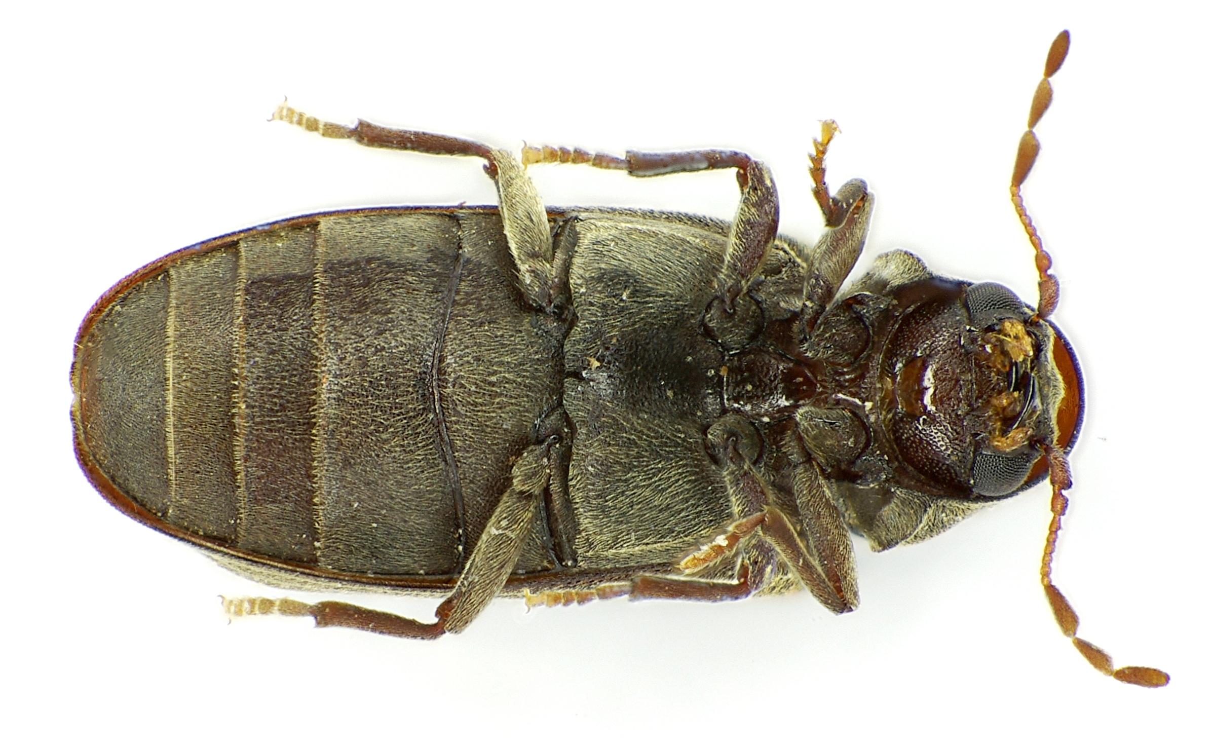 Very Impressive portraiture of Species Anobium punctatum Furniture Beetle BugGuide.Net with #997432 color and 2392x1474 pixels