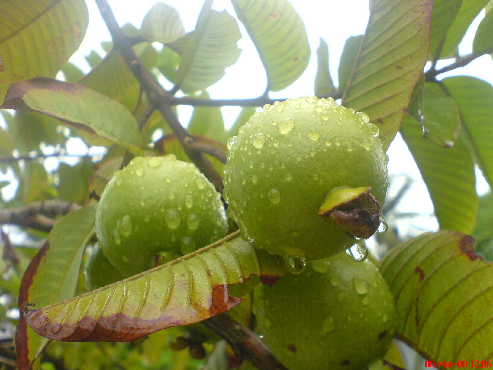 File:Apple Guava.jpg - Wikimedia Commons