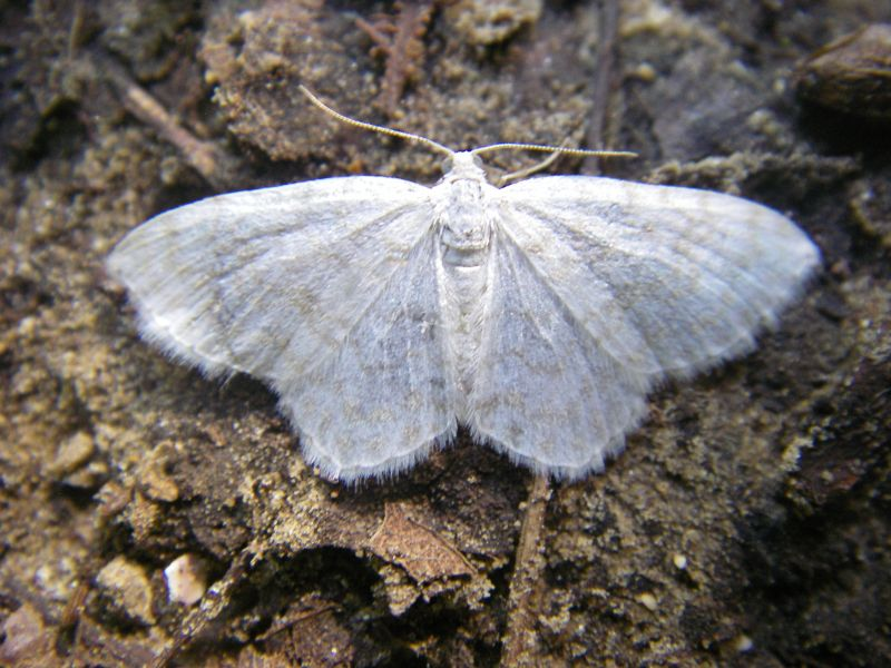 Asthena albulata (Geometridae) (Small White Wave) - (imago), Bourg-et-Comin, France