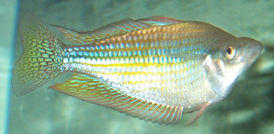 Melanotaenia fluviatilis wikipedia for Rainbow fish care