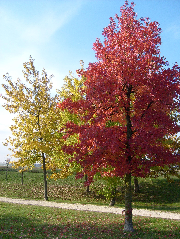 alberi sempreverdi di media altezza