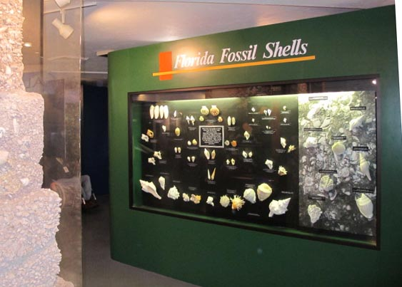 Exhibition Shell Zone : File bmnsm fossil shell exhibit g wikimedia commons