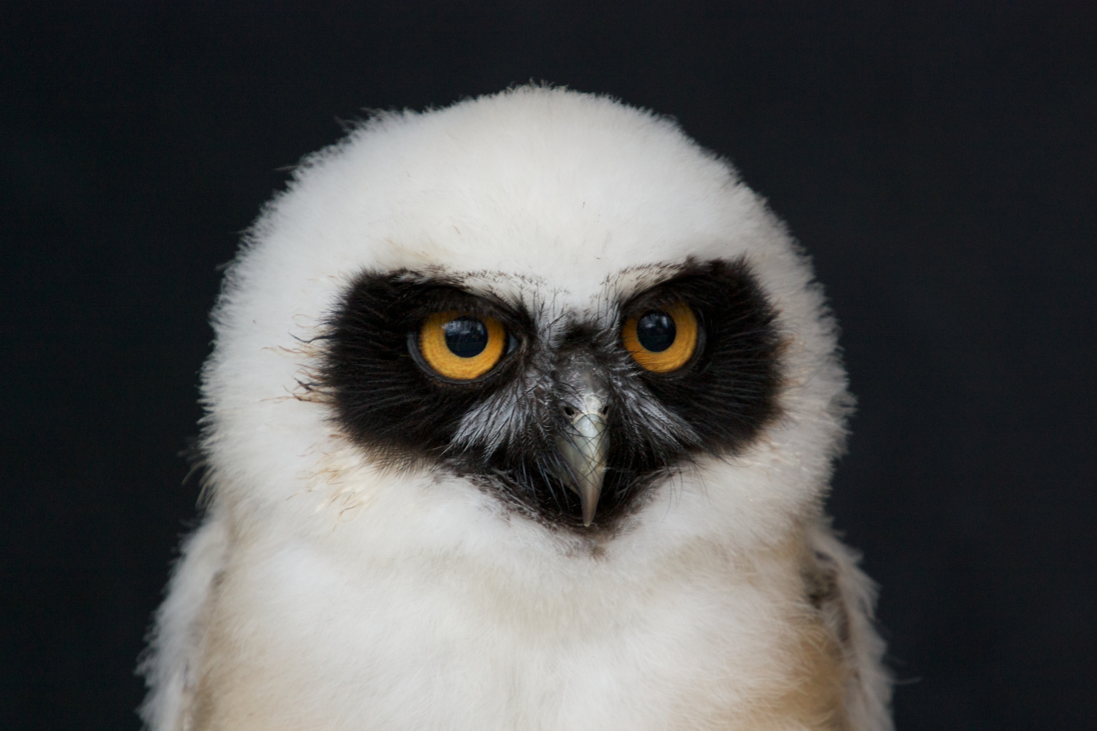 Baby Owl File:baby spectacled owl.jpg