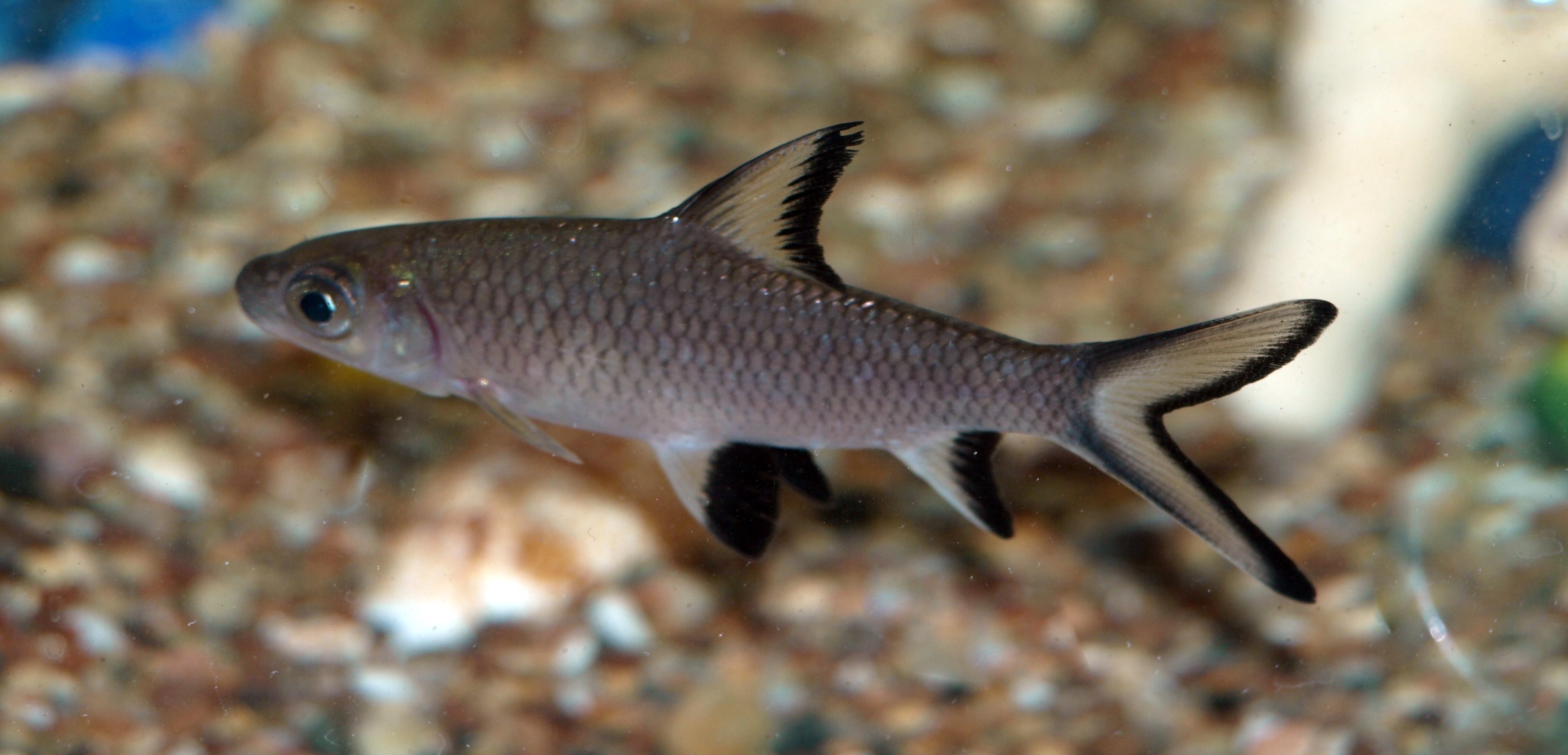 Tiger Oscar South American Cichlid as well Live Fish besides 29 Gallon 4 in addition 75 Gallon Aquarium For Sale Uniquarium 75 Gallon Tube Aquarium Fish Tank Aquariums At Hayneedle besides File Bala Shark. on oscar fish at petsmart