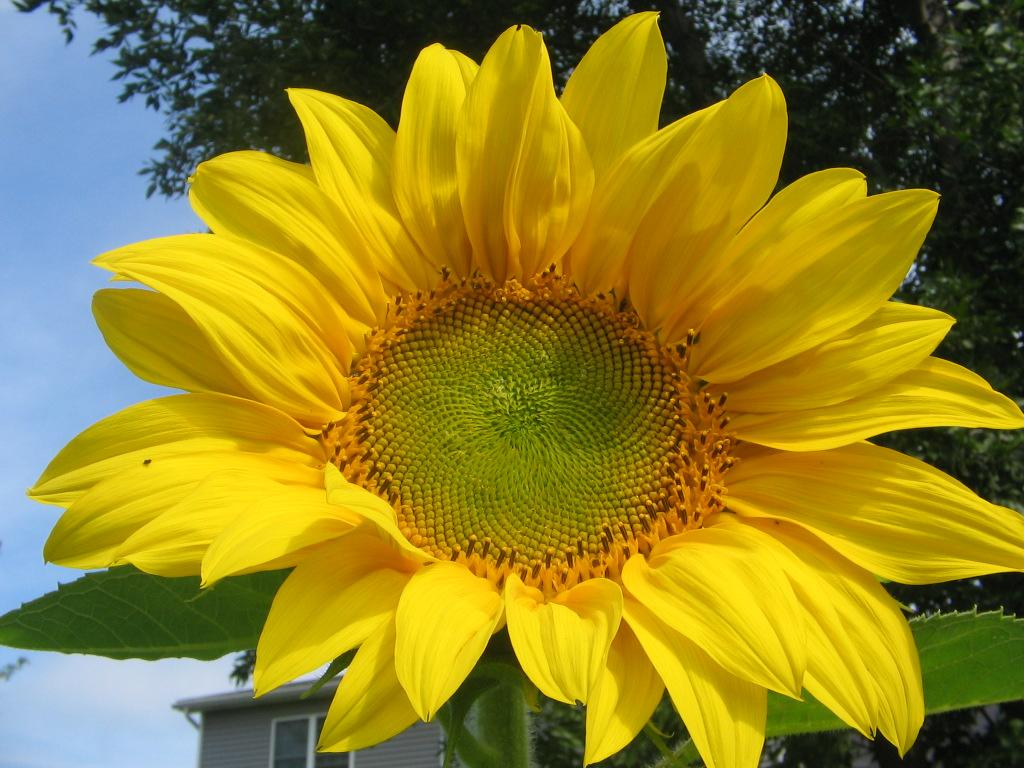 File Beautiful sunflowers