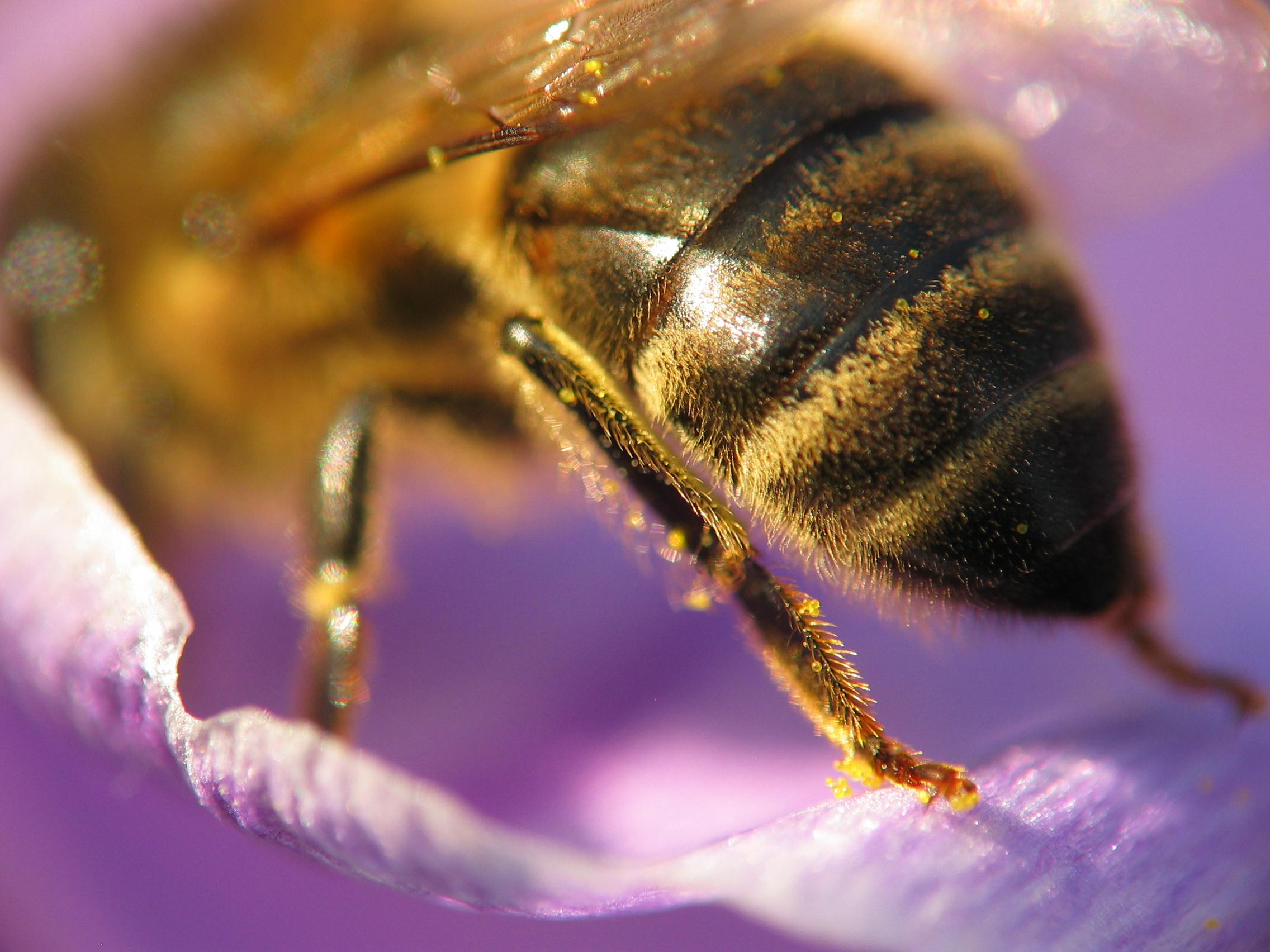 Bee_crocus_macro_3.jpg (2272×1704)