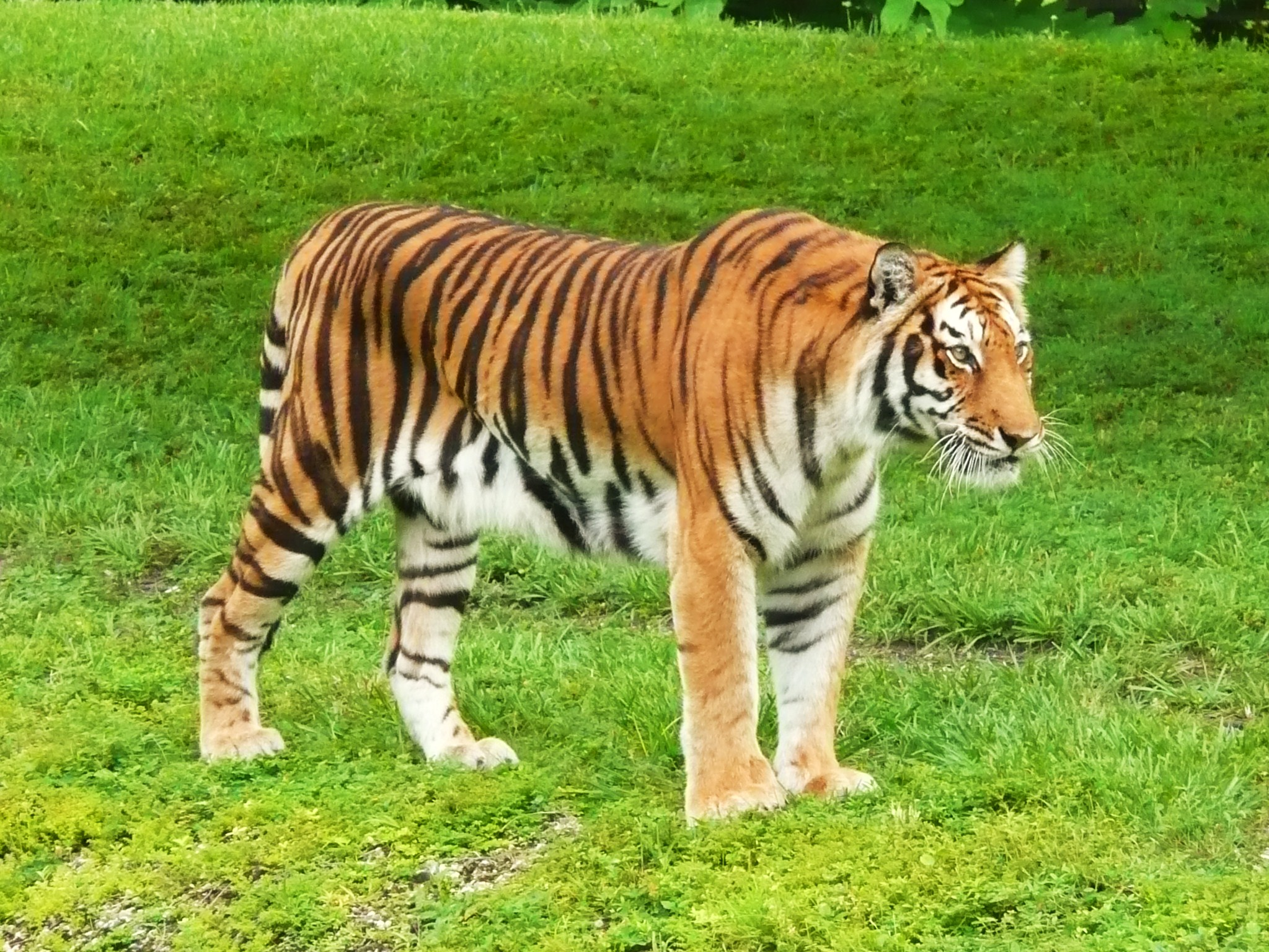 Description Bengal Tiger Miami MetroZoo.jpg