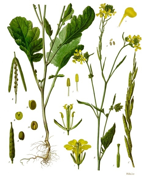 feasibility of mustard brassica integrifolia root Brassica juncea, commonly brown mustard juk gai choy brassica juncea var crispifoliatakana brassica juncea var integrifolia brassica nigra – black.