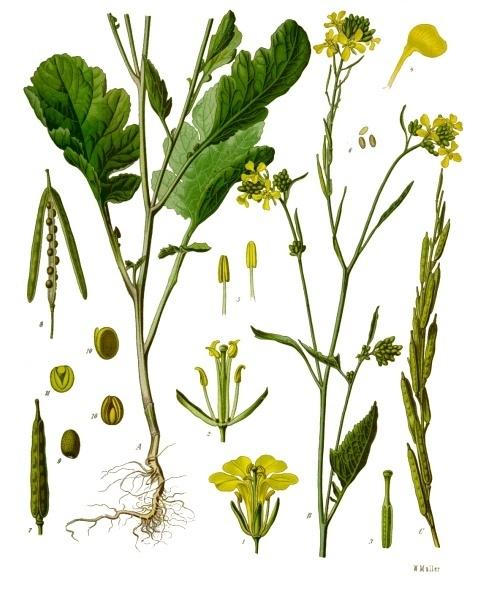Brassica nigra - Wikipedia