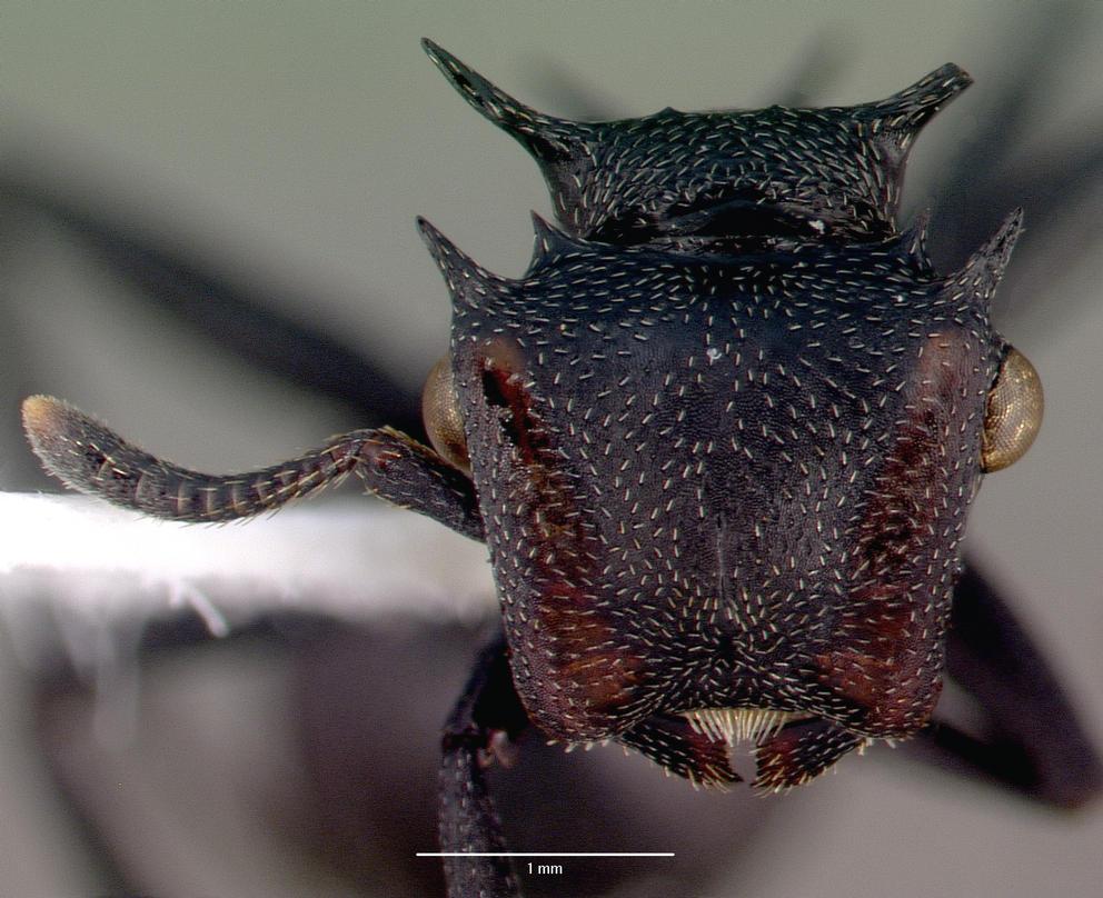 https://upload.wikimedia.org/wikipedia/commons/3/34/Cephalotes_atratus_casent0010676_head_1.jpg