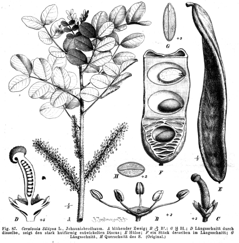 Ceratonia siliqua Taub87.png