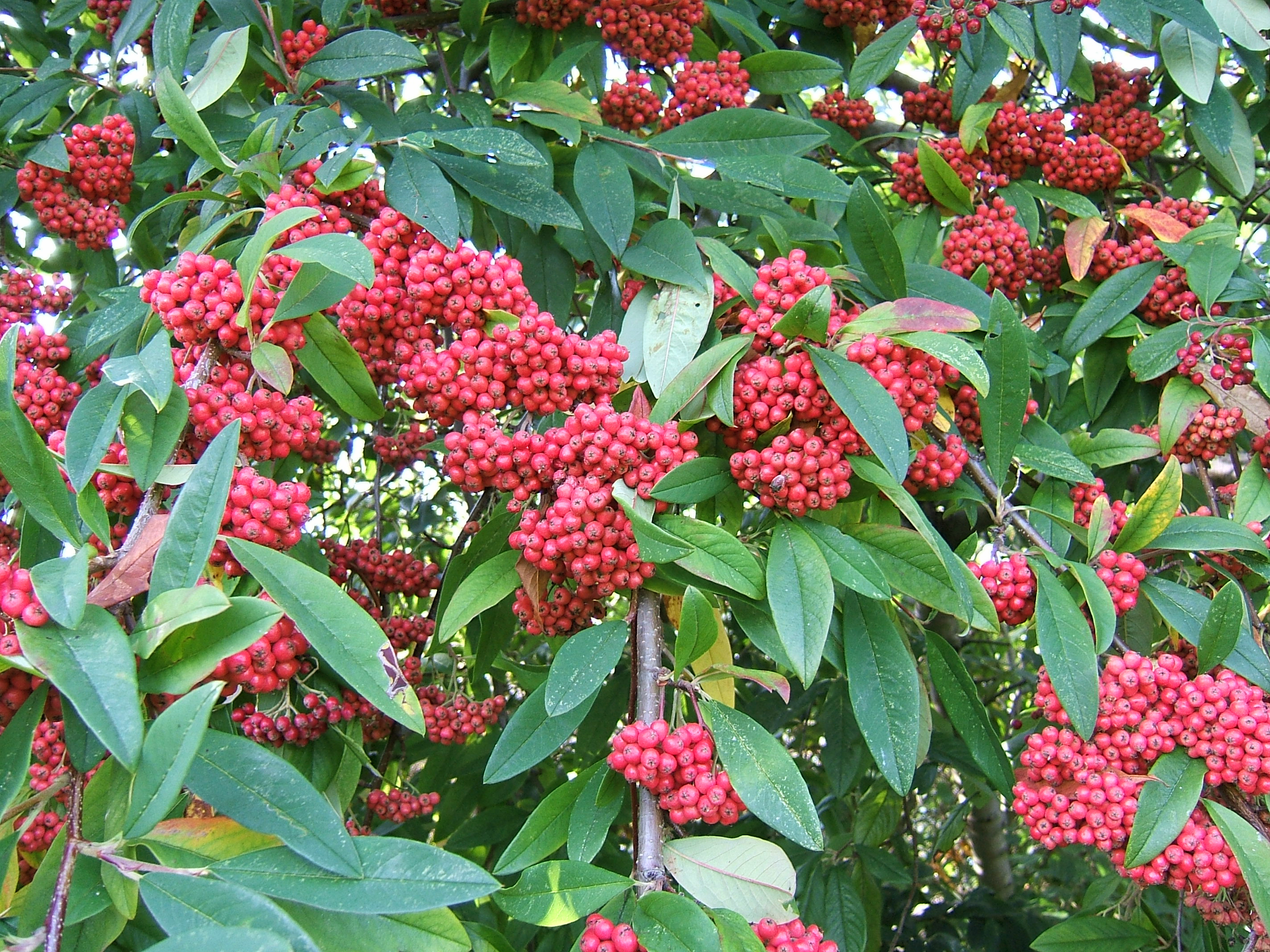 file cotoneaster frigidus berries wikimedia commons. Black Bedroom Furniture Sets. Home Design Ideas