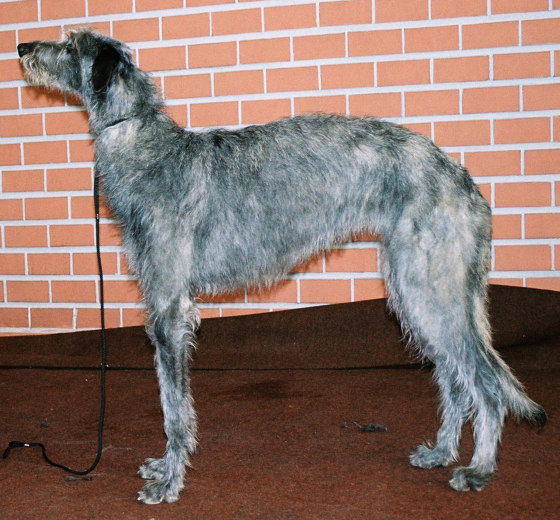 Chart szkocki Deerhound