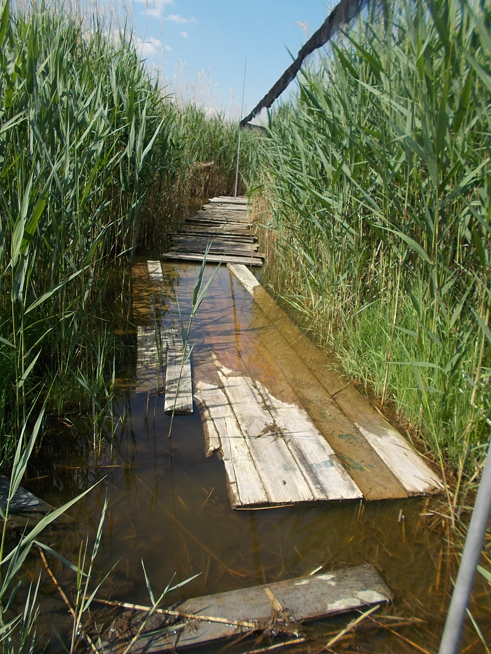 A nature trail of floating planks leading off into the distance between very tall reeds