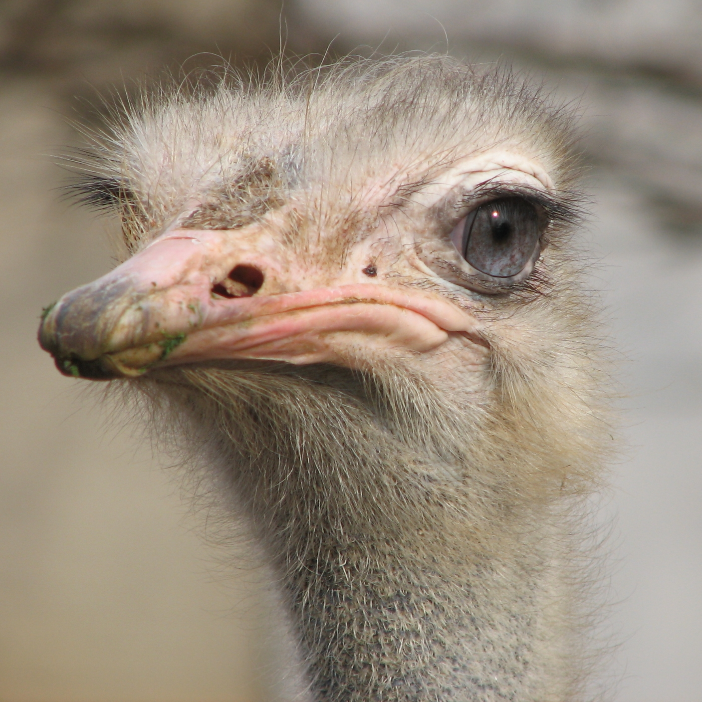 file dirty ostrich     wikimedia commons