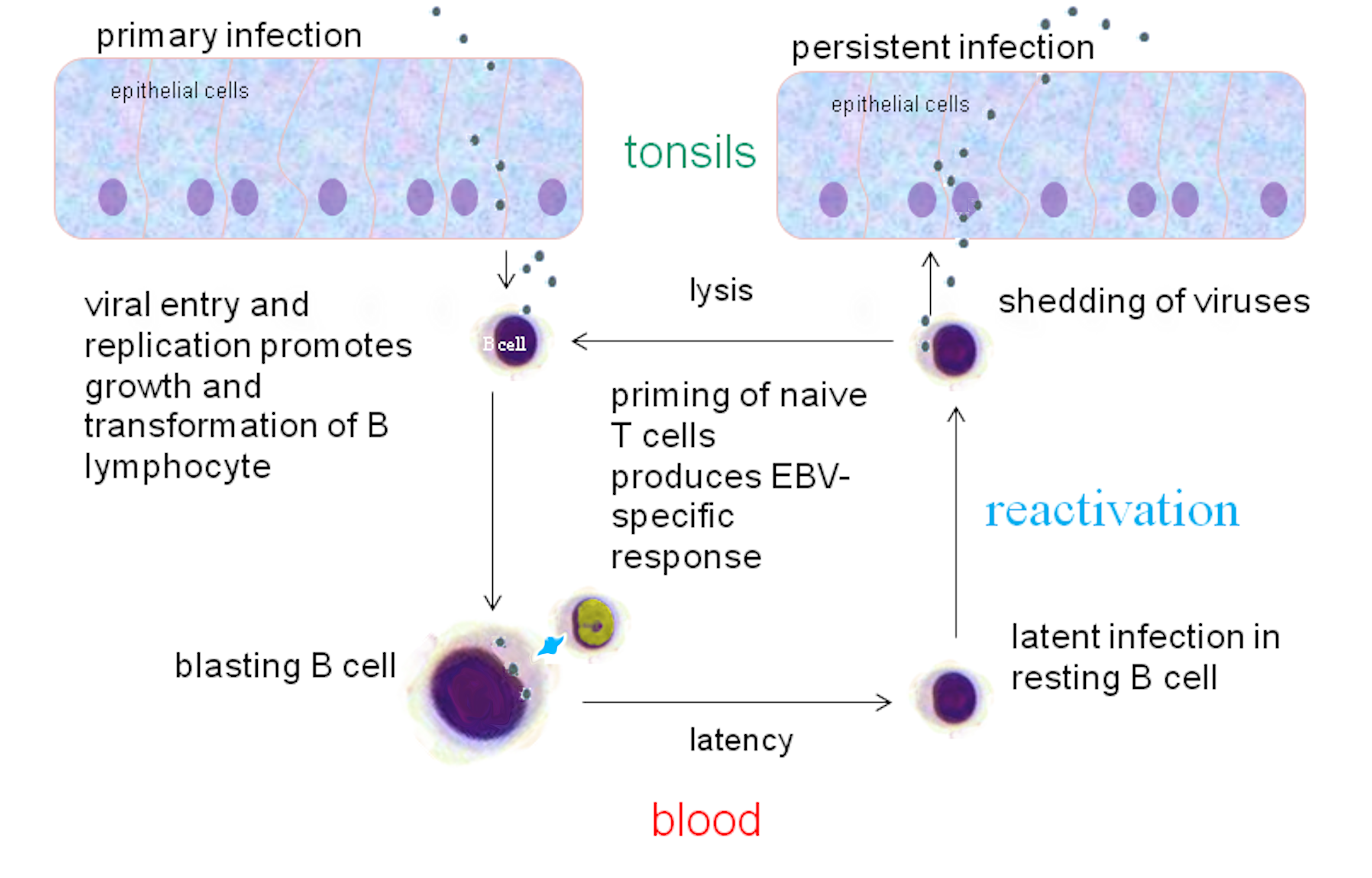 EBV infection cycle in healthy humans.png