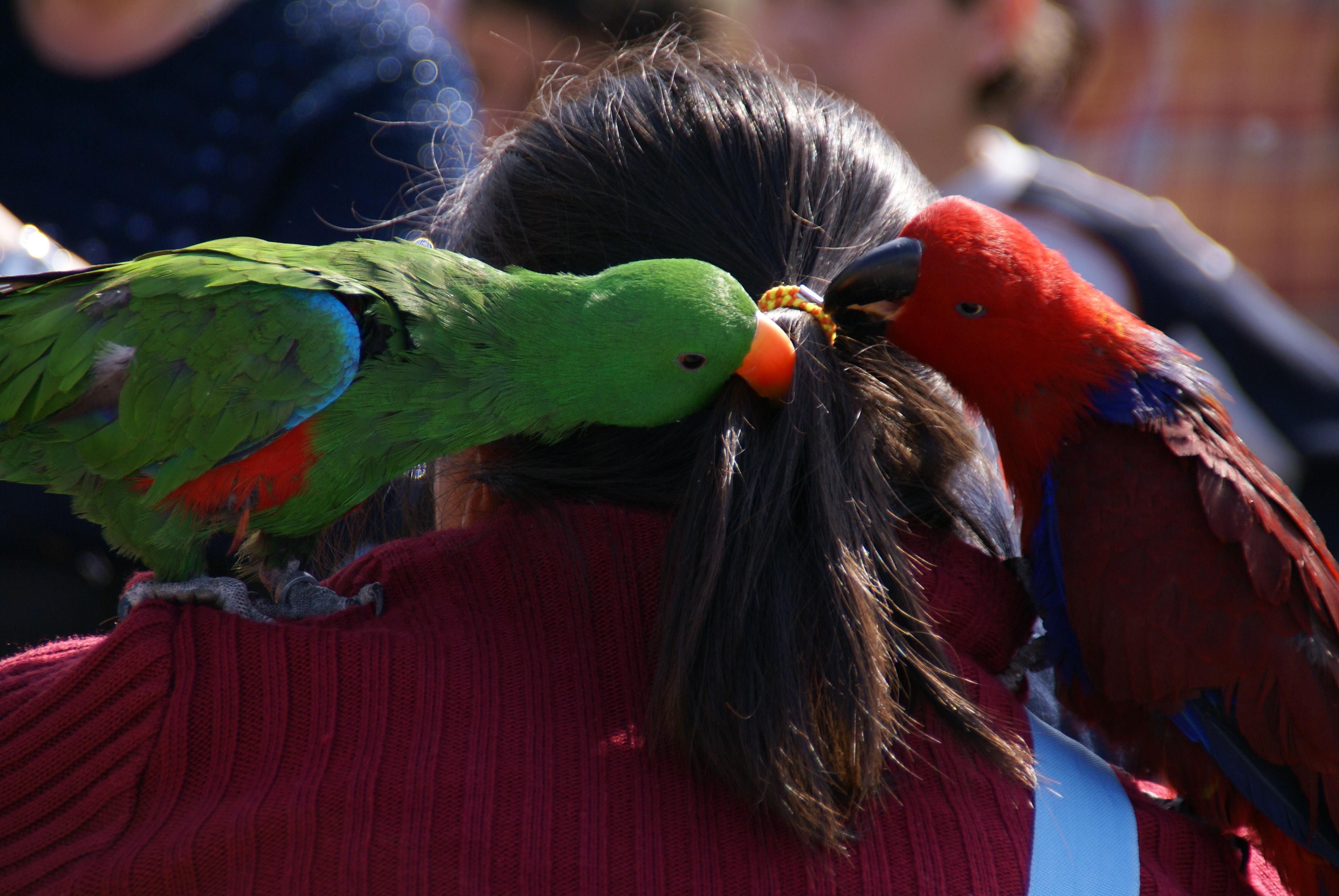Parrots as Pets Information Eclectus Parrots as Pets