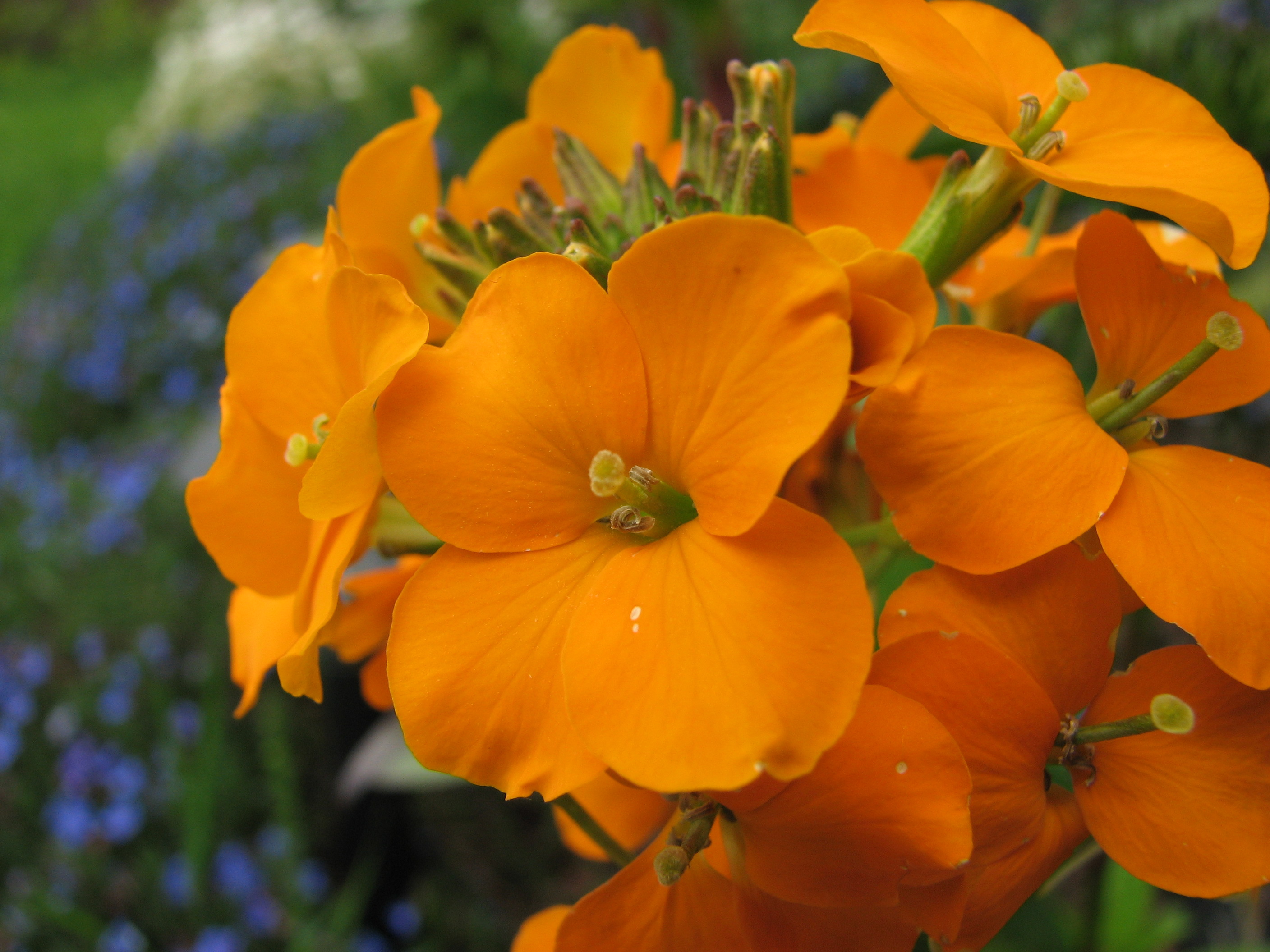 http://upload.wikimedia.org/wikipedia/commons/3/34/Erysimum_cheiri_gold_garden_flowers.jpg