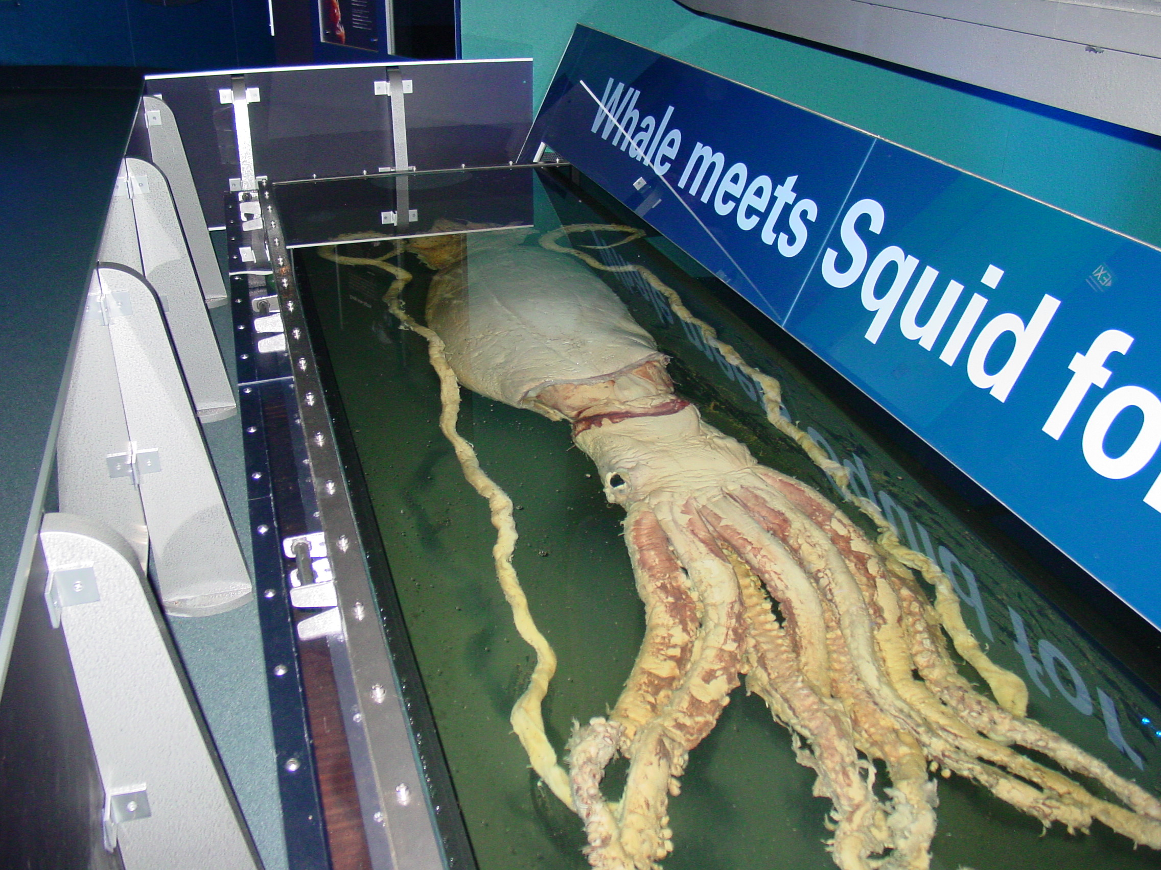 filegiant squid melbourne museumjpg