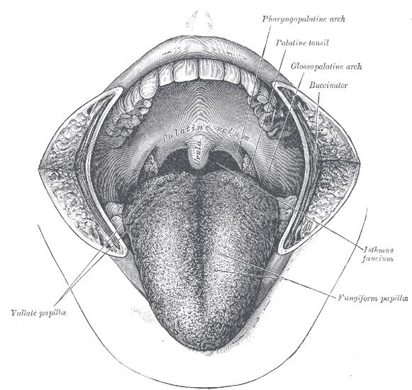 Tonsillar fossa - Wikipedia