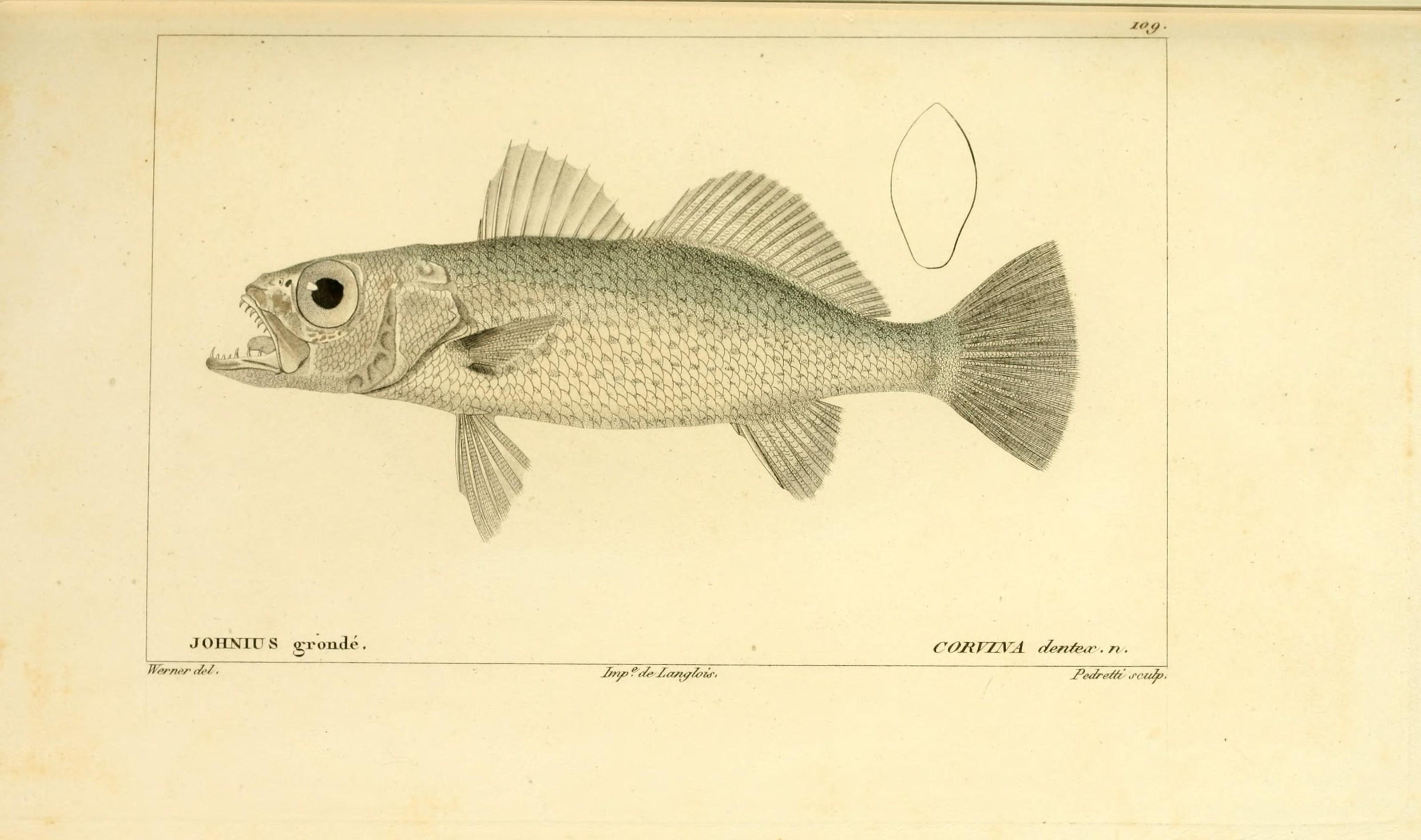 Histoire naturelle des poissons (Pl. 109) (7950001714).jpg © Buffon, Georges Louis Leclerc; Cuvier, Georges; Valenciennes