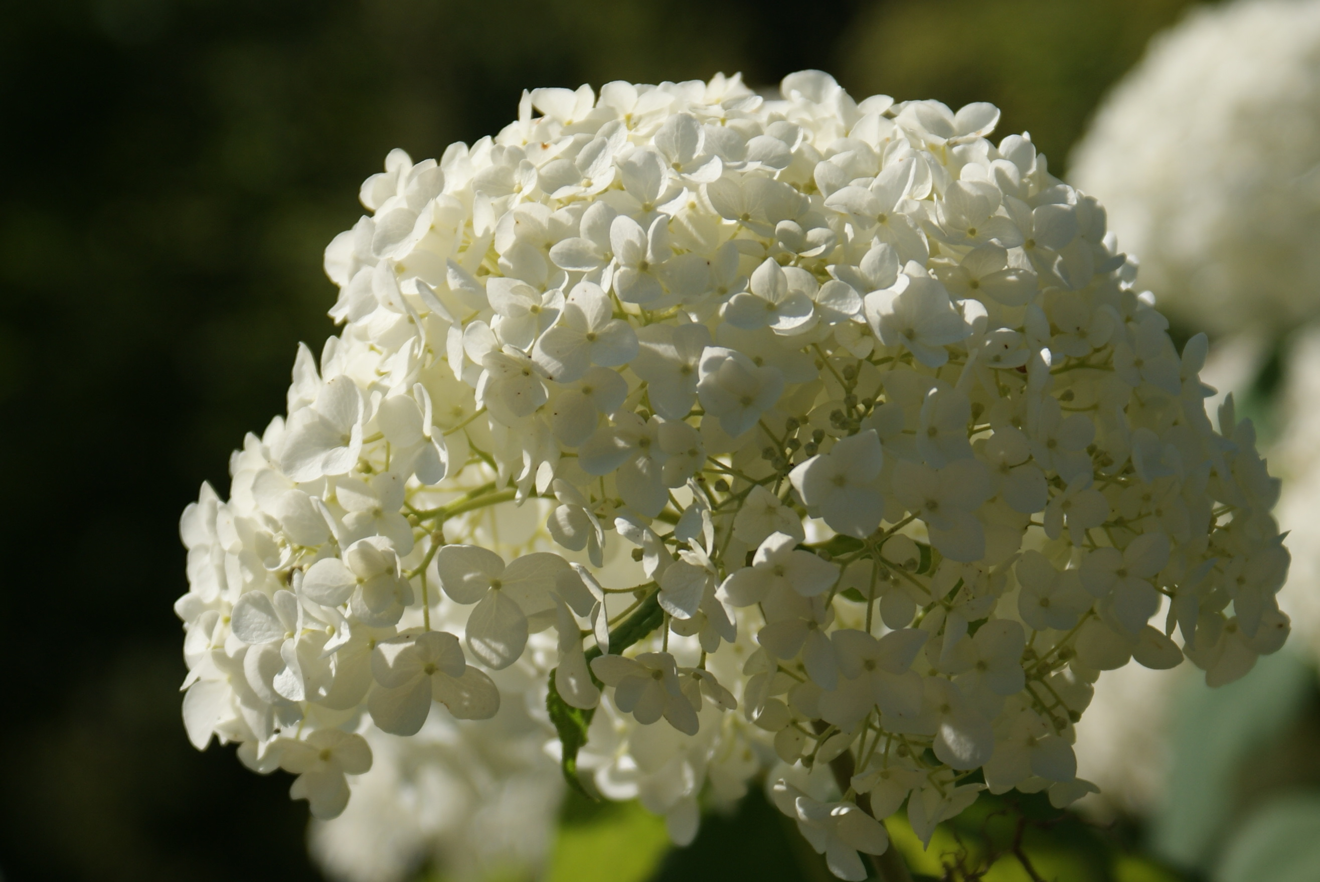 file hydrangea arborescens annabelle jpg. Black Bedroom Furniture Sets. Home Design Ideas