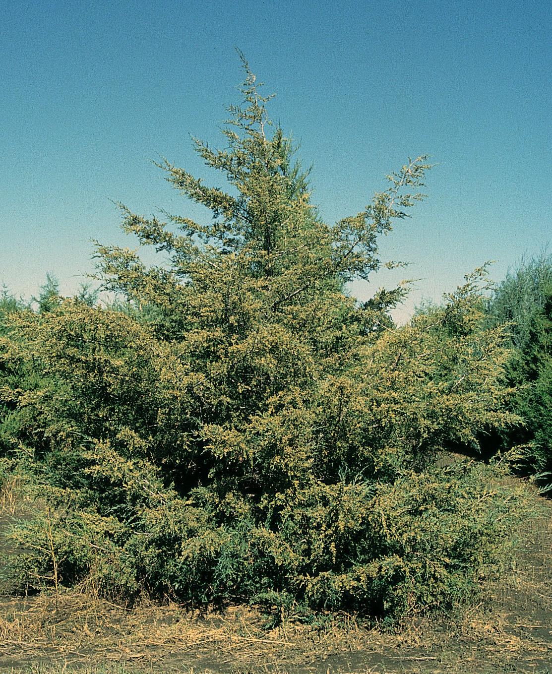 Virginischer Wacholder Juniperus virginiana 70 Samen  VERSANDKOSTENFREI !!!